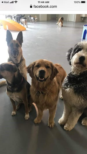 Beth Bascom's dog, Ozzie, center, with his pals at Doggie in the Window day care in Berkley. The day care has helped him control his energy and helped Bascom manage her job as an emergency physician in Detroit.