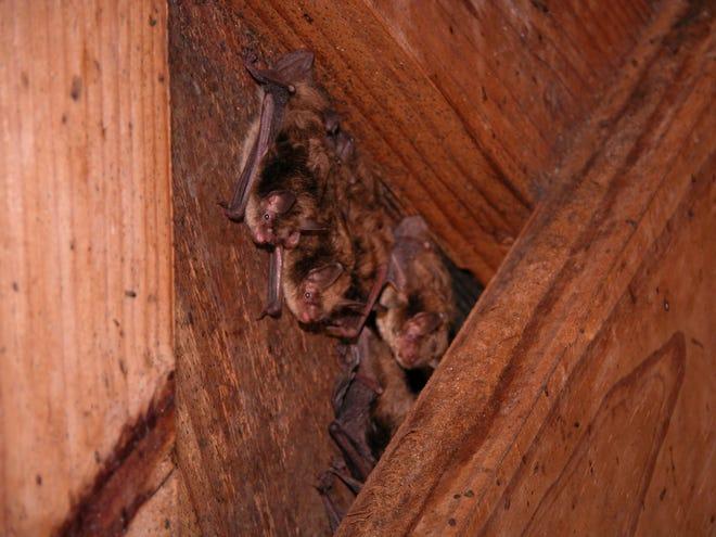 Little brown bats (Myotis lucifugus)