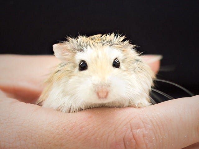 A hamster is held at the Collier County Animal Shelter.