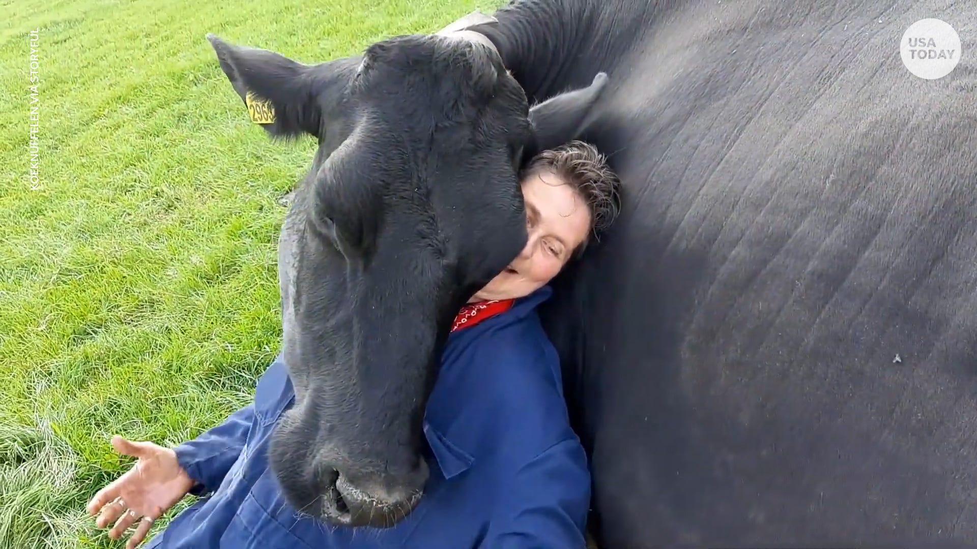 Cuddly cows hug on people at Dutch farm