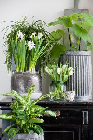 Paperwhites, top left, add a lovely accent to a tableau featuring houseplants.