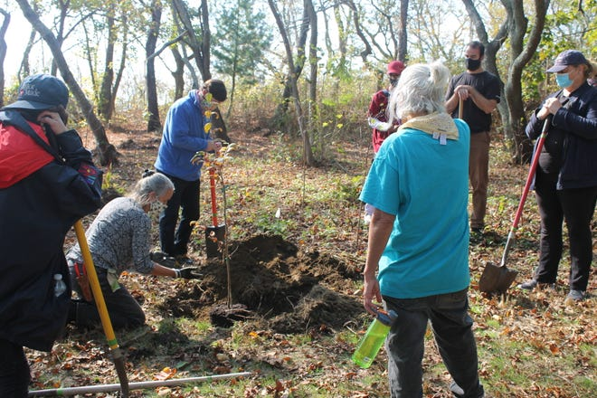 Volunteers place a sapling in Miantonomi Park.