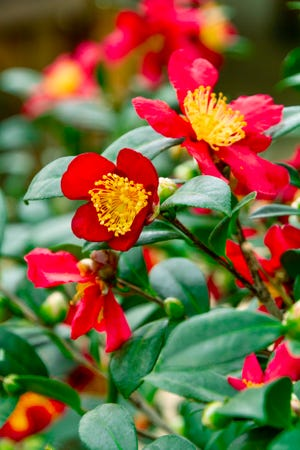 'Yuletide' is one of the showiest of the fall-blooming camellias. It grows upright, flowers heavily for a long season and tolerates most-of-the-day sun.