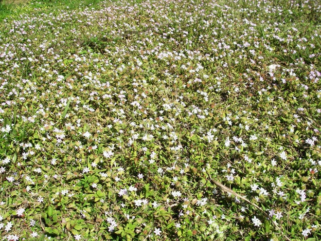 The weed is Florida pusley (Richardia scabra) and is a native to Florida.