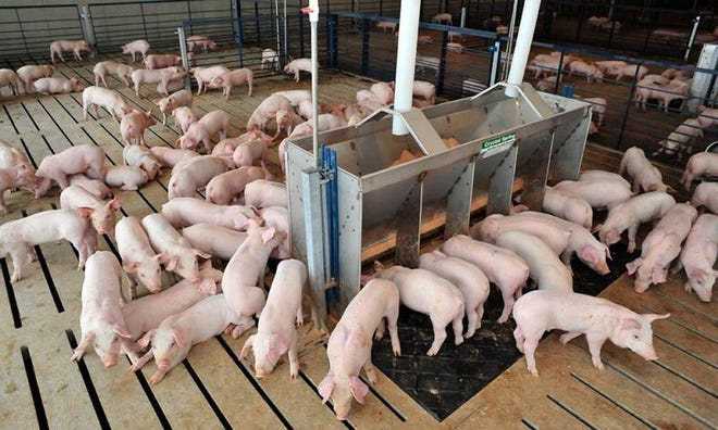 Feeding growing pigs is a detailed science. However, the careful nutrition science can be disrupted when pigs are without feed, such as during relocation events.