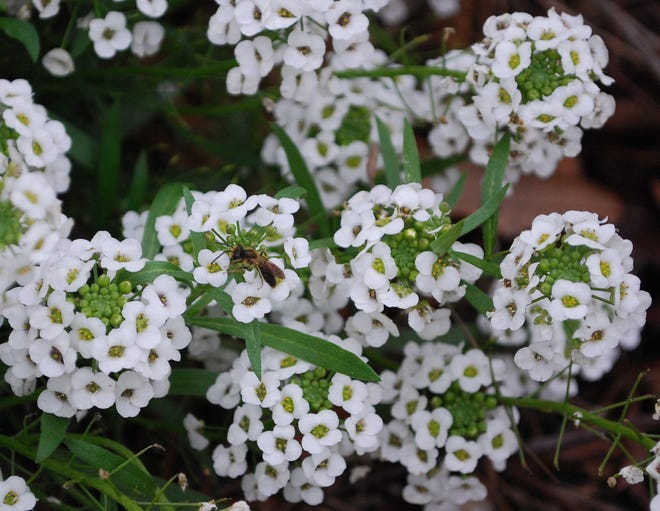 The Lobularia Snow Princess, also called alyssum, can be used as a groundcover or in containers and does well in Northeast Florida's fall and winter conditions.