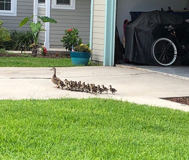 This mother duck and her very lengthy brood were taken in Villages of Vilano.