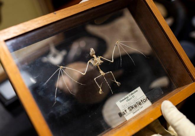 A bat specimen on display at the EcoTarium.