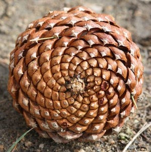 A pinecone displaying the spiraling pattern of the Fibonacci Sequence.