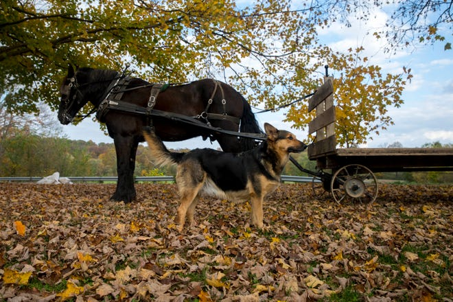 A horse is hooked up to a flatbed wagon at the Byler's Farm in Gallia County on Oct. 21, 2020.