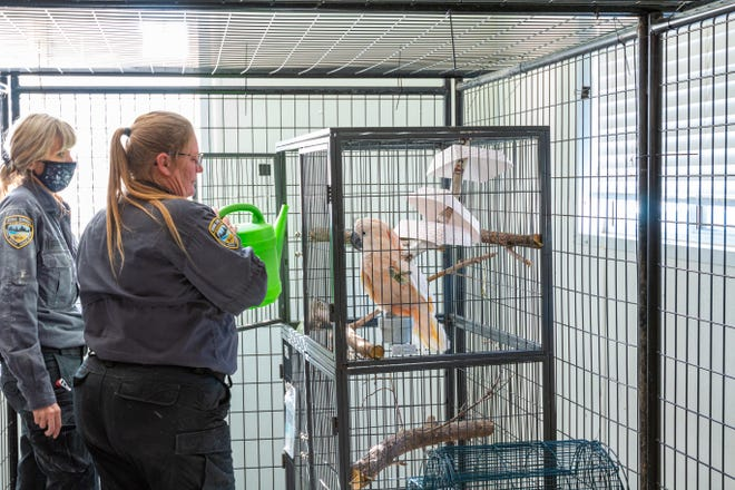 Robyn Dobernecker, left, ARL of Iowa Cruelty Intervention Coordinator and Tina Updegrove, an Animal Services Officer, tend to a Moluccan Cocatoo that was rescued from a Des Moines home along with 10 other birds on Oct. 27.