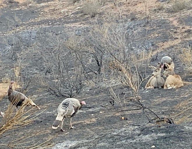 Wildlife sit on Cameron Peak Fire burn areas at Bobcat Ridge Natural Area.