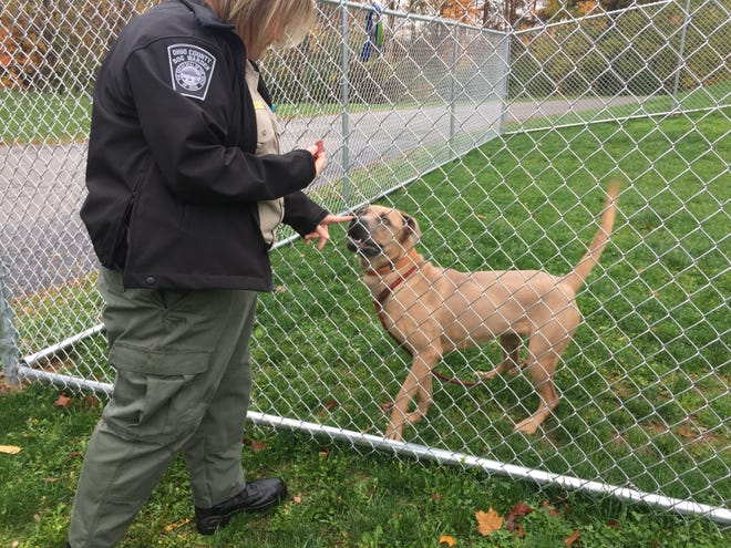 Missy Houghton tries to get Mocha to sit for a treat. Mocha is a 1-year-old Cane Corso that would do better in a home without cats or small dogs.