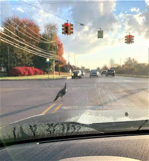 This wild turkey is wreaking havoc for drivers on Beck Road in Plymouth.