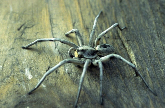 The Carolina wolf spider (Hogna Corolinensis) is the largest wolf spider, measuring up to 22-35 mm. It is the state spider of South Carolina, the only state that recognizes a spider as a state symbol.