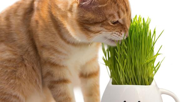 Best cat gifts: Cat Grass