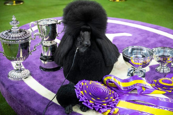 Siba, a standard poodle, who won best in show in the Westminster Kennel Club dog show, in New York in February. The event, long a fixture at Madison Square Garden in Manhattan, will move to Lyndhurst, a riverside estate in Westchester County, in June to comply with pandemic restrictions in 2021.