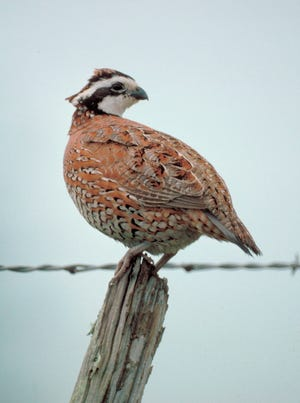 Bobwhite quail were once fairly common in Grayson County and the remainder of the Red River Valley. But these days, a local upland bird hunting enthusiast will have to travel many miles south and west to find good quail hunting prospects as the Oct. 31-Feb. 28 season prepares to begin.