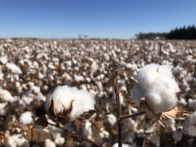A cotton field in West Lubbock county just ahead of harvest on Oct. 29.