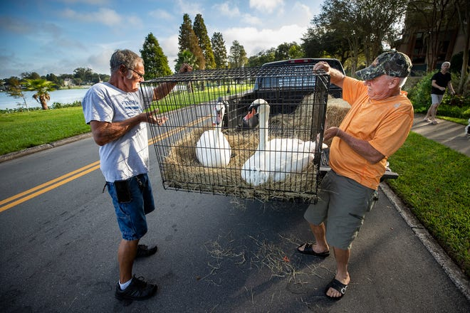 Billy Bradley, right, and Ken Allen, both of Riverview, load up a pair of swans into Bradley's pickup truck they purchased at the swan sale on Lake Morton in Lakeland Thursday. A total of 18 pairs of swans were sold to their new owners from across the state.