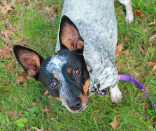 Mimi is available for adoption through One Dog at a Time Rescue in Tiverton.
