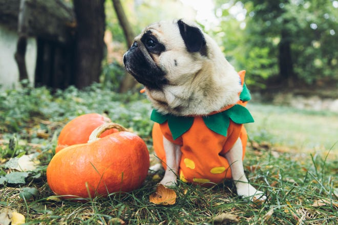 If Fluffy is OK with wearing a costume, be sure to try it on before Halloween and choose an outfit that fits comfortably.