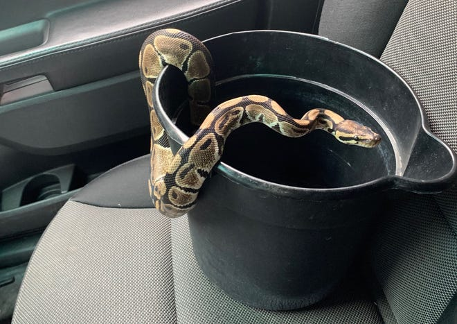 Bucyrus police were called Wednesday morning to remove a ball python from the basement of an East Rensselaer Street home.