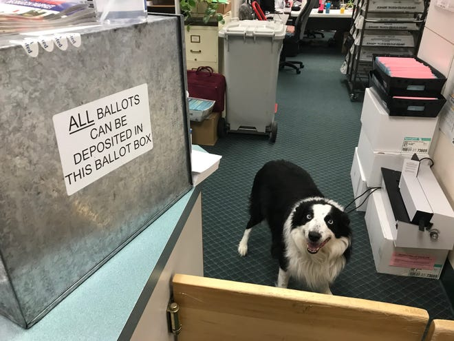 Viper the Elections Dog greets visitors to the Cascade County Elections Office. He's been on the job for 11 years.