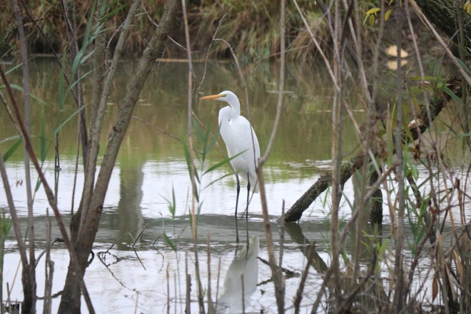 An egret wades into the water at Turtle Creek along Ohio 2 following a break in the rain on Thursday.