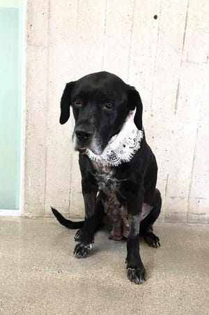 Ruthie the black lab arrived at the Boone Area Humane Society on Saturday, Oct. 24, 2020, in labor with a high-risk pregnancy. She is recovering in the care of a foster family.