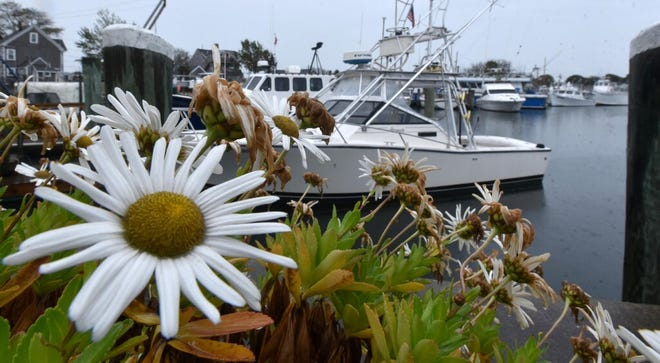 A resolute daisy puts on a summer show along the Hyannis Ocean Street Docks in a heavy rain as the remnants of Tropical Storm Zeta pass well south of Cape Cod.