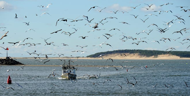 Gulls take flight to greet the arrival of a boat heading into Wellfleet Harbor, which is the subject of an annual conference that will take place over three Saturdays this year.