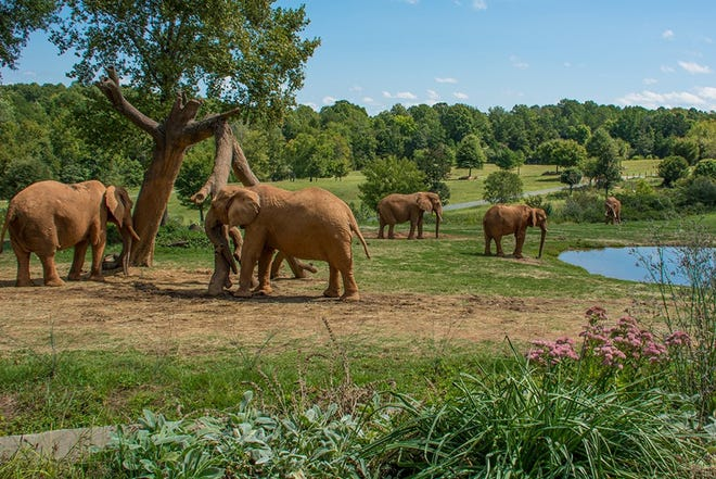 Elephants wander the Watani Grasslands at the N.C. Zoo in Asheboro.