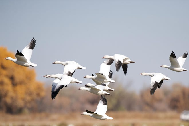 Snow geese like these were seen flying over Presque Isle State Park recently.