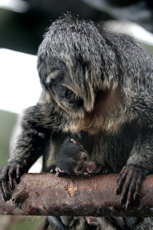 One of Gauguin's six kids, Gigi, is shown with its mother, Suni, in  2018.