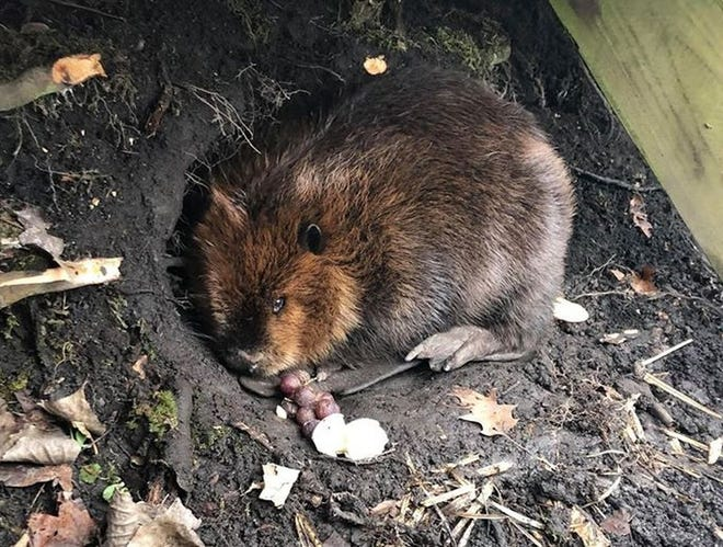 A beaver found at the Kalamazoo Nature Center on Thursday, Jan. 30.  This is not the beaver responsible for a road closure in the U.P.