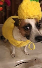 USA TODAY Entertainment Reporter Rasha Ali's family dog Goldie is not happy. He suffered the indignity of wearing yellow to dress as a pineapple, but I think he looks sharp.
