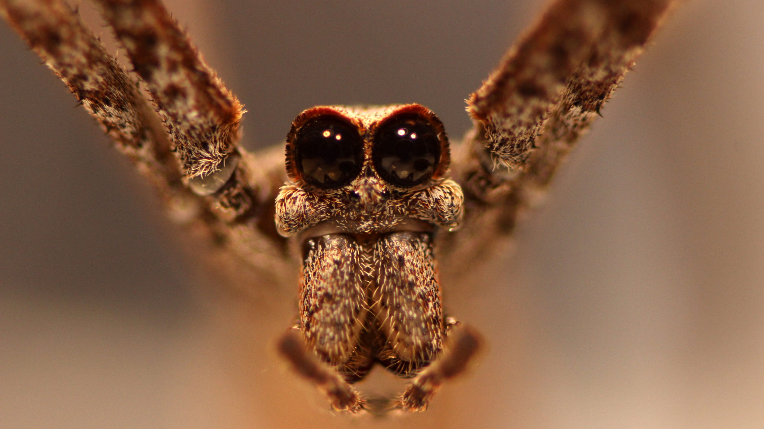 Ogre-faced spiders don't need ears to 'hear' their prey, study finds. These large-eyed nocturnal predators snag food out of the air.