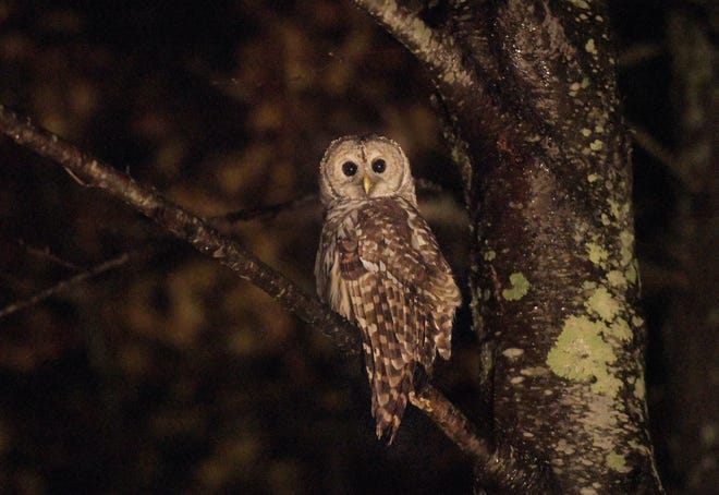 HUBBARDSTON - A barred owl lands in a tree, with no prey, after swooping across Williamsville Road on Sunday evening.