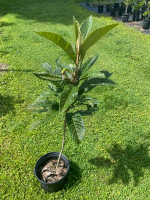A loquat tree is one of the species that will be available for pickup to DeLand residents whose properties were affected by the tornado in August.
