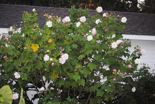 The Confederate rose that succumbed to freezing cold rainy weather a few years ago was in full bloom when this photo was taken. You can see the trio of white, pink and crimson flowers on display.