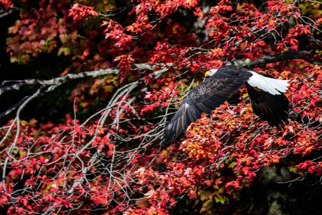 A bald eagle takes flight.