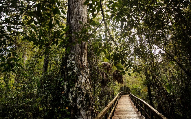 The Big Cypress Bend Boardwalk has reopened to the public. The 2,300 foot wooden boardwalk takes visitors into the heart of Fakahatchee Strand, the largest bald cypress/royal palm swamp in the world. The bald cypress trees surrounding the boardwalk are hundreds of years old.