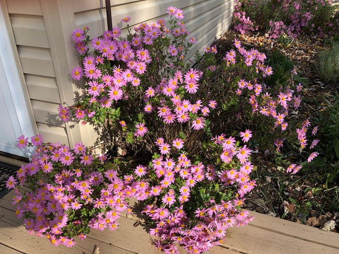 These late-blooming mums survived a cold night when snow was predicted last week.