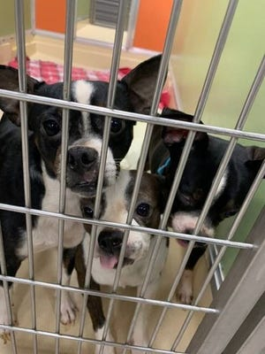 Valley Oak SPCA provided medical care to 16 injured Boston terriers, beginning in October.