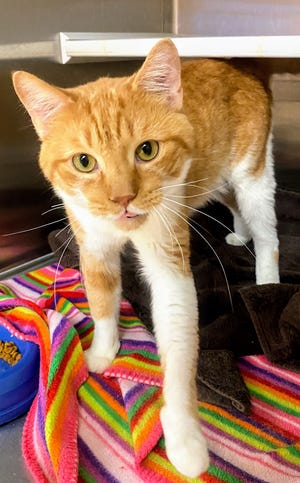 More than 80 orange cats are available for adoption from the Humane Society of Summit County after being rescued from a home.
