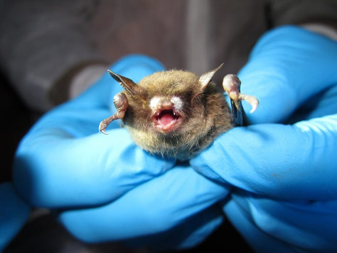 Little brown bat (M. lucifugus) with symptoms of White Nose Syndrome.
