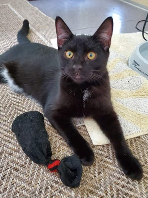 Arthur is a playful 5-month-old male tuxedo kitten. He is very outgoing and likes to explore and have fun. Arthur is super friendly and has adorable markings with his belly being all white. Arthur will make a great companion and is very sweet! Meet this lovable boy at our shelter.