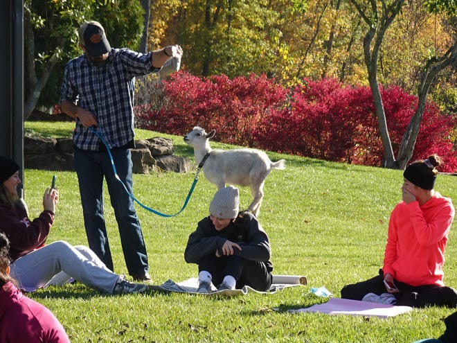 Owner Lincoln Barrett helps Earl the Nigerian dwarf goat climb on one of the yoga participants on Oct. 17 at Twisted Olive in Green.