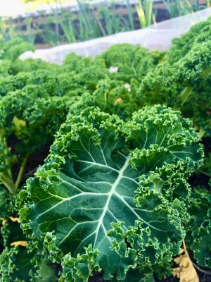 Kale comes in many leaf forms and colors. Some are laced or ruffled and very pretty. But the plain-leaved types are a little easier to clean.